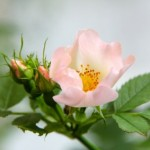 rose_flowers_pink_236576